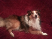 Sebastian is a wonderful boy that needs a home with some guidance. He came from a home without very many rules and tends to push his boundaries. A home that has experience with a high energy high prey drive sheltie would be best for this boy. Sebastian likes to play with other dogs, likes children and is housetrained. For more information please e-mail us at zsazsasheltierescue@gmail.com.